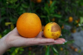 Saving Oranges & Growing Cherries