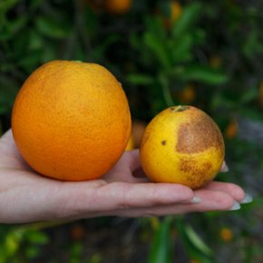 Saving Oranges & GrowingCherries