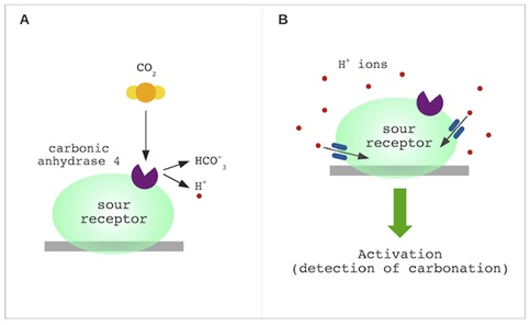 (A) CO2 is broken down into HCO3- and H+ by the carbonic anhydrase 4 enzyme (B) The abundance of H+ byproducts creates an acidic environment. Through ion channels, the H+ ions enter the sour-taste receptor, which depolarizes the cell and leads to the detection of CO2 .