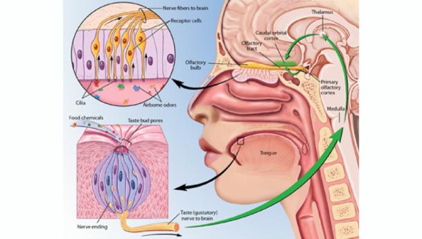 "Kibiuk, Lydia V., and Devon Stuart. ""Taste and Smell."" BrainFacts.org. 1 April 2012. Web. 10 Dec. 2014."