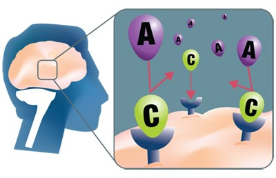 Figure 3: Caffeine molecules (C) compete with adenosine molecules (A) to bind to the adenosine receptors in the brain (Schardt, 2012) [10].