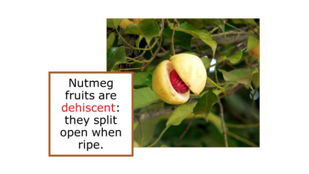 Fotm, nutmeg slide 3