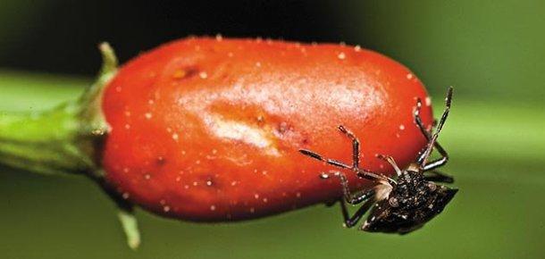 bug-on-chili-631-jpg__800x600_q85_crop