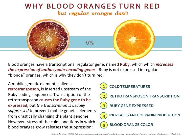Blood Orange   scienceandfooducla
