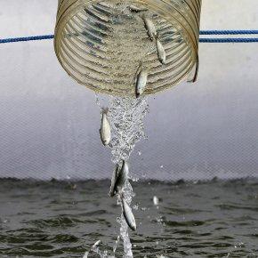 The Great Salmon Escape & ExtinctionThreats