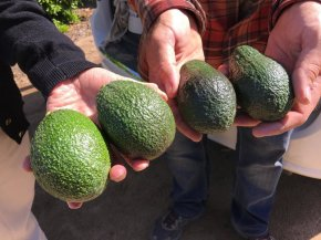 Perennial & Seedless Avocados