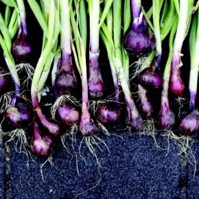 Organic Onions & Tear-freeOnions